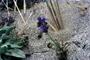 Polemoniaceae - Gilia capitata subsp. chamissonis