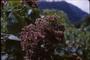 Malvaceae - Heliocarpus popayanensis