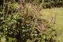 Verbenaceae - Stachytarpheta jamaicensis