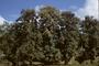 Lamiaceae - Tectona grandis