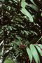 Fabaceae - Acacia koa