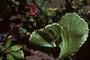 Euphorbiaceae - Acalypha amentacea subsp. wilkesiana