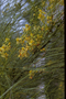 Fabaceae - Parkinsonia aculeata