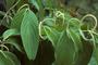 Piperaceae - Piper aduncum