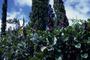 Fabaceae - Dioclea wilsonii
