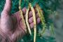 Fabaceae - Prosopis juliflora