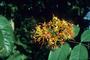 Fabaceae - Saraca indica