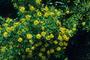 Malpighiaceae - Galphimia gracilis