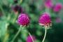 Amaranthaceae - Gomphrena globosa