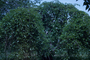 Moraceae - Morus alba