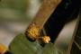 Moraceae - Castilla elastica
