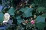 Malvaceae - Hibiscus mutabilis