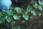 Malvaceae - Herissantia crispa
