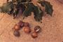 Proteaceae - Macadamia integrifolia