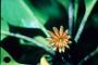 Rhizophoraceae - Bruguiera sexangula