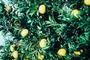 Rutaceae - Citrus maxima