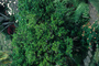Rutaceae - Murraya paniculata