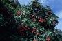 Sapindaceae - Litchi chinensis
