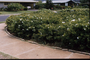 Oleaceae - Jasminum multiflorum