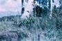 Dioscoreaceae - Tacca leontopetaloides