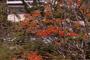 Fabaceae - Delonix regia
