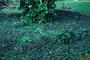Commelinaceae - Tradescantia zebrina