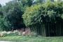Poaceae - Phyllostachys aurea
