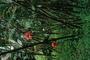 Zingiberaceae - Etlingera elatior