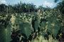 Araceae - Colocasia esculenta