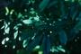 Aquifoliaceae - Ilex paraguariensis