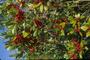 Aquifoliaceae - Ilex cassine