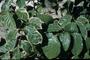 Araliaceae - Polyscias guilfoylei