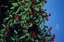 Bixaceae - Bixa orellana