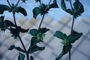 Asteraceae - Acanthospermum hispidum
