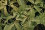 Gleicheniaceae - Dicranopteris linearis