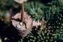 Poaceae - Abies sp.
