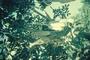Bignoniaceae - Kigelia africana