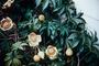 Convolvulaceae - Merremia tuberosa