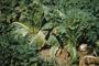 Brassicaceae - Brassica rapa