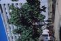Euphorbiaceae - Macaranga mappa