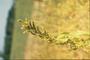 Amaranthaceae - Amaranthus retroflexus