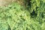 Pteridaceae - Adiantum capillus-veneris