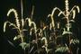 Asteraceae - Ambrosia artemisiifolia