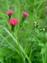 Asteraceae - Emilia sonchifolia var. sonchifolia