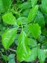 Araceae - Syngonium podophyllum