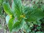 Asteraceae - Synedrella nodiflora
