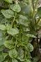 Basellaceae - Basella alba