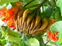 Bignoniaceae - Spathodea campanulata