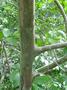 Myrtaceae - Psidium guajava