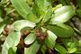 Combretaceae - Conocarpus erectus var. sericeus